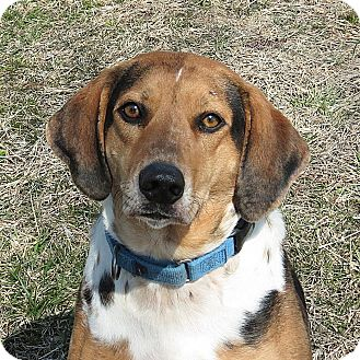 Catahoula Leopard Dog/Hound (Unknown Type) Mix Dog for adoption in Columbia, Illinois - Betty Lou