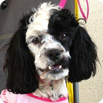 Cocker Spaniel/Poodle (Miniature) Mix Dog for adoption in Weatherford, Texas - Nena