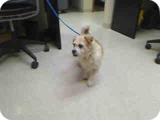 Cairn Terrier Mix Dog for adoption in Antioch, Illinois - Perky