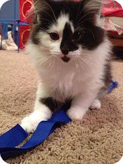 Domestic Longhair Kitten for adoption in Byron Center, Michigan - Bala