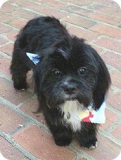 Shih Tzu/Cockapoo Mix Dog for adoption in Atlanta, Georgia - Buddy
