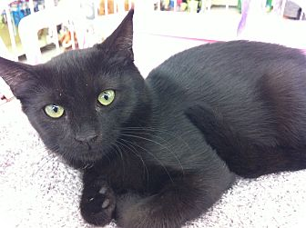 Domestic Shorthair Cat for adoption in Riverside, California - Sabrina