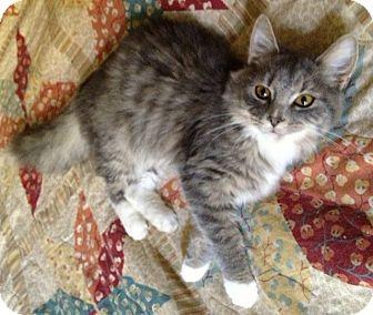 Maine Coon Kitten for adoption in Harrisburg, North Carolina - Charm