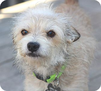 Norwich Terrier Mix Dog for adoption in Woonsocket, Rhode Island - Boo