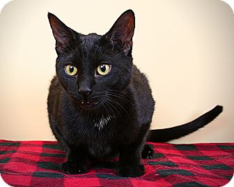 Domestic Shorthair Cat for adoption in Troy, Michigan - Skylar