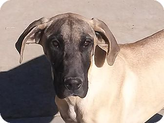 Great Dane Puppy for adoption in San Fernando Valley, California - Little Miss Nova