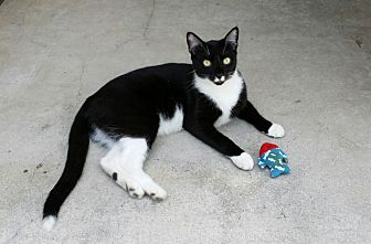 American Shorthair Cat for adoption in Naples, Florida - Lucky