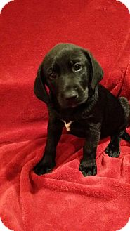 Shepherd (Unknown Type)/Labrador Retriever Mix Puppy for adoption in Orland Park, Illinois - Joey
