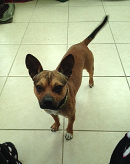 Terrier (Unknown Type, Medium) Mix Dog for adoption in Houston, Texas - Mister