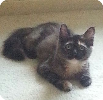 Calico Kitten for adoption in Cat Spring, Texas - Petra