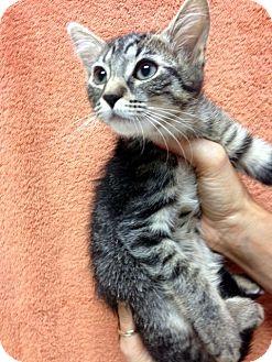Domestic Shorthair Kitten for adoption in Las Vegas, Nevada - Lulu