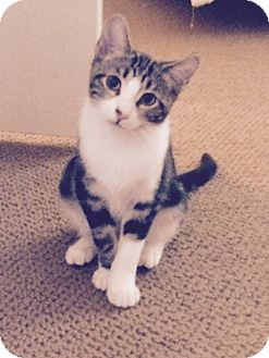 Domestic Shorthair Kitten for adoption in Mission Viejo, California - Sophie