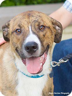 Catahoula Leopard Dog/Great Dane Mix Dog for adoption in Huntsville, Alabama - Brooks