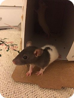 Rat for adoption in Brooklyn, New York - Schuyler Sisters Babies