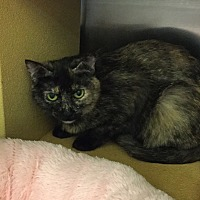 Domestic Shorthair Cat for adoption in Colmar, Pennsylvania - Josephine
