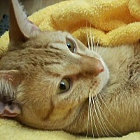 Domestic Mediumhair Cat for adoption in Oviedo, Florida - Fritz