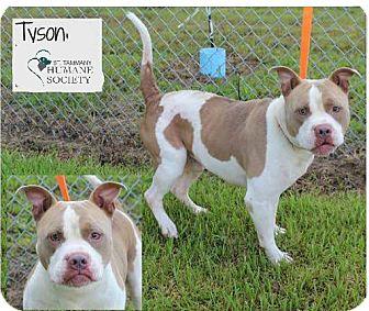 American Pit Bull Terrier Mix Dog for adoption in Covington, Louisiana - Tyson