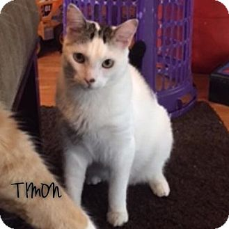 Domestic Shorthair Cat for adoption in Great Neck, New York - Timon
