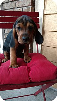 Beagle/Harrier Mix Puppy for adoption in Tampa, Florida - Ranger