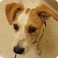 Adopt A Pet :: Dasher in San Antonio - San Antonio, TX