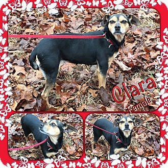 Feist/Rat Terrier Mix Dog for adoption in East Hartford, Connecticut - Clara-pending adoption