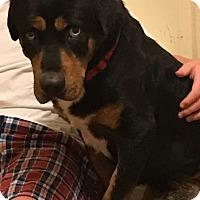 Adopt A Pet :: Blue - Irmo, SC