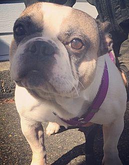 French Bulldog Dog for adoption in Seattle, Washington - Henri