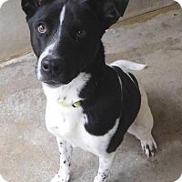 Adopt A Pet :: Billyjack - House Springs, MO