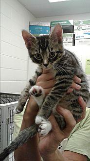 Domestic Shorthair Kitten for adoption in Barnwell, South Carolina - Clarissa