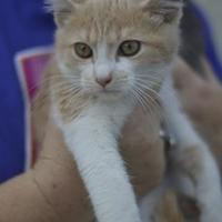 Domestic Shorthair/Domestic Shorthair Mix Cat for adoption in Amory, Mississippi - Mars