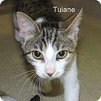 Domestic Shorthair Kitten for adoption in Slidell, Louisiana - Tulane