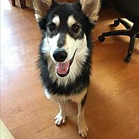 Alaskan Malamute Mix Dog for adoption in Truckee, California - Linkin