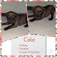 Adopt A Pet :: Cola - Oviedo, FL