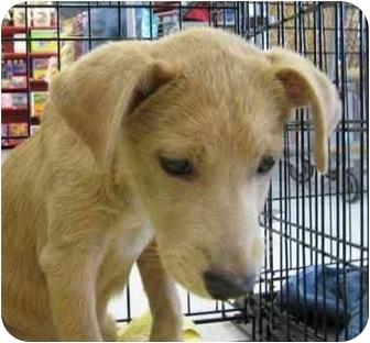 Golden Retriever Mix Dog for adoption in Sugar Land, Texas - Clover