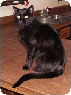 Domestic Shorthair Cat for adoption in Milford, Ohio - Bellie