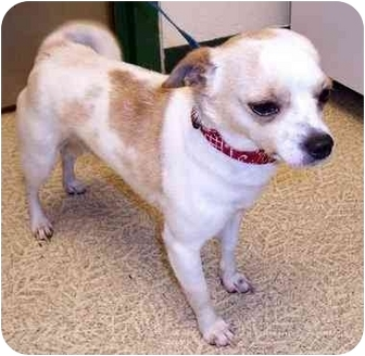 Chihuahua Dog for adoption in Anderson, Indiana - Arnie