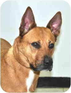 Shepherd (Unknown Type) Mix Dog for adoption in Port Washington, New York - Gracie