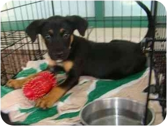 Border Collie/Beagle Mix Puppy for adoption in Richmond, Virginia - PIP