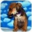 Photo 3 - Shepherd (Unknown Type) Mix Puppy for adoption in Broomfield, Colorado - 1Leonardo