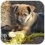 Photo 2 - German Shepherd Dog Mix Puppy for adoption in Los Angeles, California - Lucah von Finley