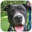 Photo 4 - American Pit Bull Terrier Dog for adoption in Morristown, New Jersey - Elena-GREAT WITH CATS!