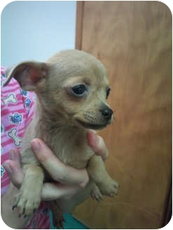 Chihuahua Mix Puppy for adoption in Astoria, New York - Ruby