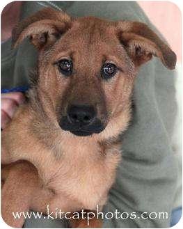 Shepherd (Unknown Type) Mix Puppy for adoption in Worcester, Massachusetts - Queenie