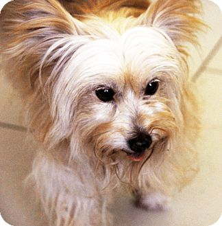 Maltese Mix Dog for adoption in Philadelphia, Pennsylvania - Pelucha