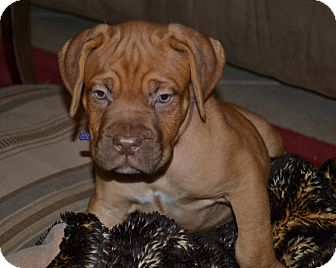 Dogue de Bordeaux Puppy for adoption in Phoenix, Arizona - Hazel