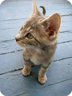 Domestic Shorthair Kitten for adoption in Carlisle, Pennsylvania - Calliope