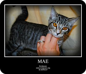 Domestic Shorthair Cat for adoption in Yuba City, California - Mae (Unknown Age Kitten)