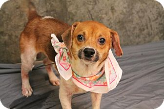 Beagle/Jack Russell Terrier Mix Dog for adoption in Lyman, South Carolina - Beans