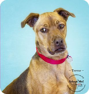 Rhodesian Ridgeback Mix Dog for adoption in Phoenix, Arizona - Trevor