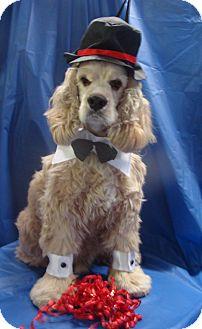 Cocker Spaniel Dog for adoption in Sugarland, Texas - Sam